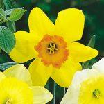 Fortissimo Large Cup Daffodil – 10 bulbs