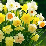 Mixed Daffodils – 10 bulbs