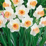 Salome Large Cup Daffodil – 10 bulbs