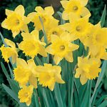 Dutch Master Trumpet Daffodil – 10 bulbs