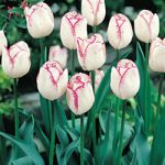 Shirley Triumph Tulip – 10 bulbs