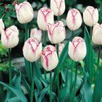 Shirley Triumph Tulip – 10 bulbs
