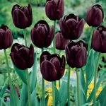 Queen of the Night Single Late Tulip – 10 bulbs