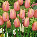 Menton Single Late Tulip – 10 bulbs