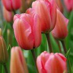 Pink Impression Darwin Hybrid Tulip – 10 bulbs