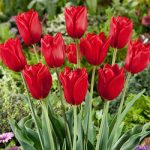 Kingsblood Single Late Tulip – 10 bulbs