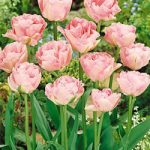 Angelique Double Late Tulip – 10 bulbs