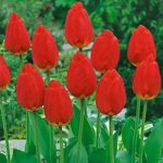 Oxford Darwin Hybrid Tulip – 10 bulbs