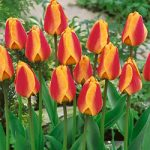 Apeldoorn Elite Striped Darwin Hybrid Tulip – 10 bulbs