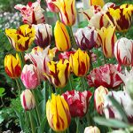 Mixed Rembrandt Tulips – 10 bulbs