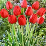 Parade Darwin Hybrid Tulip – 10 bulbs