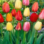 Mixed Darwin Hybrid Tulips – 10 bulbs