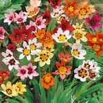 Mixed Sparaxis – 25 bulbs