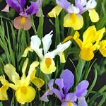Mixed Dutch Iris – 10 bulbs