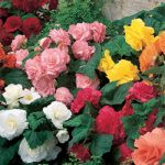 Mixed Ruffled Begonia – 6 tubers