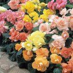 Mixed Pastel Roseform Begonia – 6 tubers
