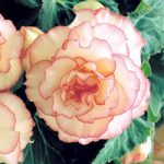 Pink Halo Picotee On Top® Begonia – 3 tubers