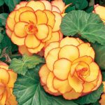 Sunset Picotee On Top® Begonia – 3 tubers