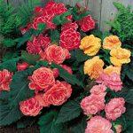 Mixed Picotee Lace Begonia – 6 tubers