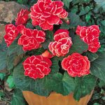 Red Picotee Lace Begonia – 3 tubers