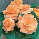 Apricot Picotee Lace Begonia – 3 tubers