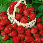 Allstar Junebearer Strawberry Plants – 10 root divisions