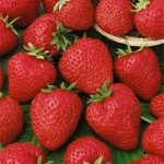 Quinault Everbearer Strawberry Plants – 10 root divisions