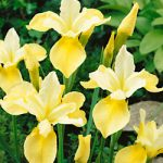 Butter and Sugar Siberian Iris – 3 root divisions