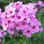 Bright Eyes Tall Summer Phlox – 3 root divisions