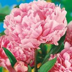 Sarah Bernhardt Peony – 1 root divisions