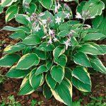 Fortunei Aureo-marginata Hosta – 3 root divisions