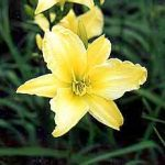 Hyperion Daylily – 3 root divisions