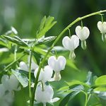 Old Fashioned Bleeding Heart Alba – 10 root divisions