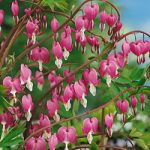 Old Fashioned Bleeding Heart – 10 root divisions