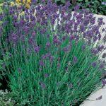 Munstead Lavender – 10 root divisions