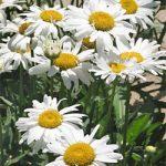 Alaska Shasta Daisy – 10 root divisions
