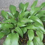 Lancifolia Hosta – 10 root divisions