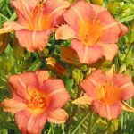 Little Bee Daylily – 10 root divisions