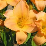 Etched in Gold Daylily – 10 root divisions
