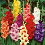 Mixed Border Gladiolus – 5 bulbs