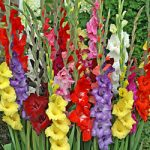 Mixed Gladiolus – 5 bulbs