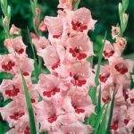 Wine & Roses Gladiolus – 5 bulbs
