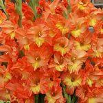 Jubilee Gladiolus – 5 bulbs