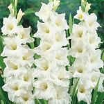 White Angel Gladiolus – 5 bulbs