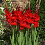 Oscar Gladiolus – 5 bulbs