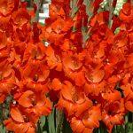 Red Sensation Gladiolus – 5 bulbs