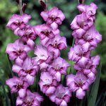 Blue Bonnet Gladiolus – 5 bulbs
