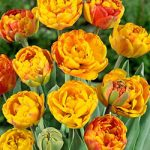 Sun Lover Double Late Tulip – 10 bulbs