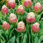 Ice Cream Double Late Tulip – 5 bulbs