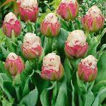 Ice Cream Double Late Tulip – 5 bulbs